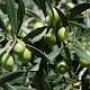 Giornata divulgativa Raccolta meccanica delle olive